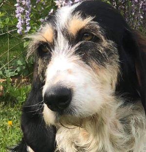 adopter un chien femelle griffon