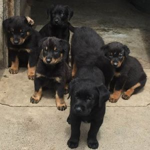 adopter chiots